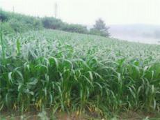 玉米草批发 玉米草种子哪家便宜 玉米草种