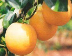 黄冠梨树采前落果轻 极丰产稳产