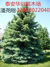 供应优质云杉 2米 2.5米 3米 3.5米云杉