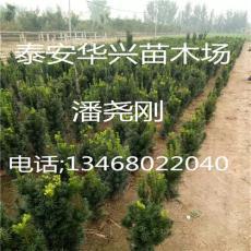供应优质红豆杉 红豆杉繁育场 20公分红豆杉
