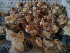 冬季饲养土鸡苗的注意问题