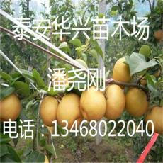 华兴苗木场大量供应梨树苗 梨树苗价格