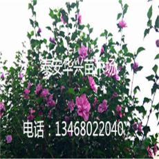 华兴苗木场供应4 5 6 7公分木槿