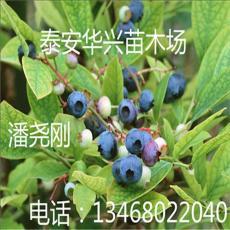藍莓生產基地 80公分藍莓 山東藍莓價格