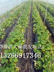 英子草莓苗供應最新引進品種