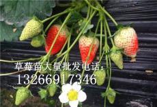1毛錢草莓苗批發價格 英子草莓苗批發
