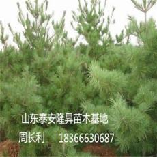 苗圃供應優質華山松 1 1.5米華山松 華山松