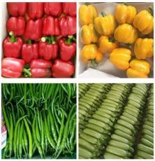 壽光樂百家新鮮蔬菜 大宗全國配送