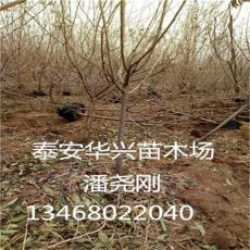 基地供应山东冬枣 2公分 3公分冬枣枣树
