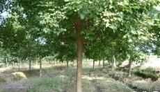 哈尔滨糖槭多少钱