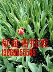 綠化郁金香供應基地郁金香杯苗價格