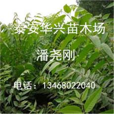 香椿芽苗培育基地 香椿苗營養杯批發