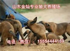 纯种马犬幼犬图片幼犬价格