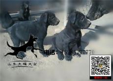 隆回县大型黑狼犬养殖基地在哪里