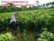 新出圃三红蜜柚苗/贵州哪家的三红蜜柚苗好