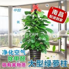 南昌红谷滩办公租花卉绿植 盆栽植物租赁租