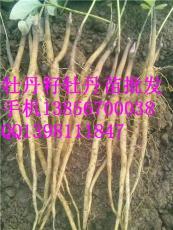牡丹苗一年 牡丹苗一年價格 優質牡丹一年
