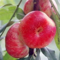 万亩早熟油蟠桃种植基地