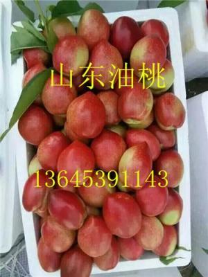 山东油桃市场大量油桃今日批发价格