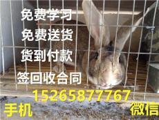 比利时兔肉兔/肉兔养殖//山东肉兔价格