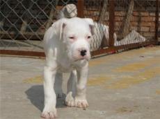 新鄭市哪里有賣杜高犬的小杜高價格