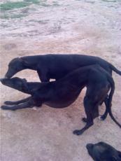 福建省哪里有賣格力犬的成年格力犬多少錢