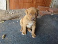 海陽市哪里有賣比特犬小比特犬價格