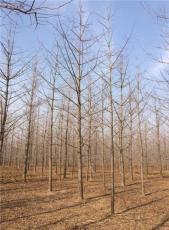 贵州5公分银杏树