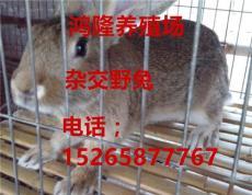 当前杂交野兔哪里有卖的 肉兔价格在多少钱