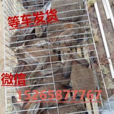 陕西延安野兔养殖行情杂交野兔种兔