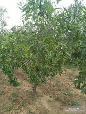 占地枣树多少钱一棵 5公分6公分冬枣树价格