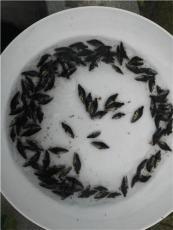 桂花魚種苗批發