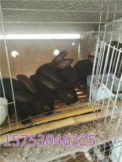 黑兔子是什么品种 中华黑兔的价格 莲山黑兔