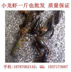 重慶龍蝦網批發 重慶小龍蝦價格規格多樣