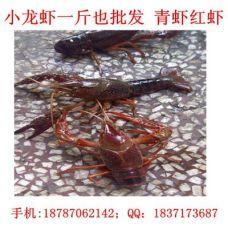 广西龙虾网批发 广西小龙虾价格规格多样