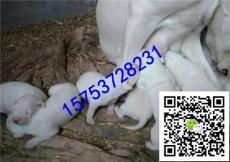 吉林通化通化市三个月杜高犬多少钱 杜高犬