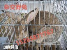 肉兔养殖杂交野兔养殖效益分析