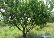 8公分10公分12公分15公分20公分石榴树
