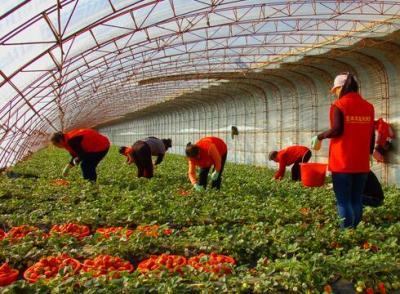 河北唐山遵化草莓采摘