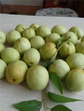 山東鮮棗收購多少錢一斤