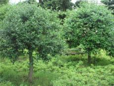 遂宁市绿化苗木供应 哪里批发树苗