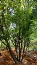 4米5米丛生五角枫树6米丛生五角枫