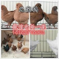 广东元宝鸽