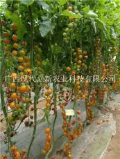 著名小番茄品牌現代立新黃小蜜櫻桃番茄種子
