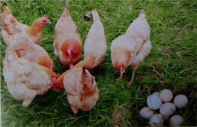 舟山无公害鸡肉养殖场 舟山绿色鸡肉合作社