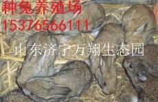 陕西汉中杂交野兔养殖场 品种的选育与培育