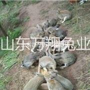 万翔种兔养殖场 种兔的饲养与管理