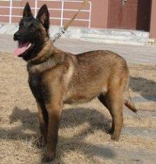 江蘇通州哪里有賣馬犬小狗的