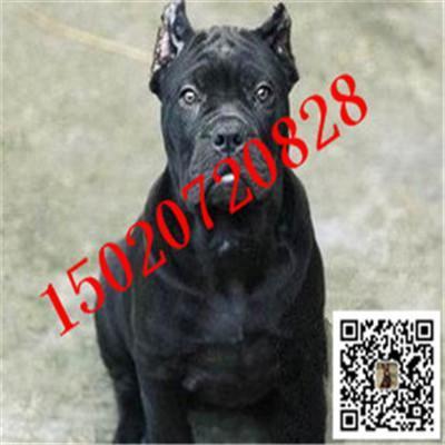 纯种的卡斯罗犬幼犬多少钱 卡斯罗犬价格