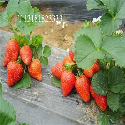 购买草莓苗 新兵农业红颜草莓苗章姬草莓苗